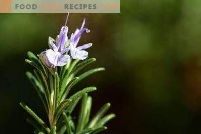 Olio di rosmarino: proprietà e usi